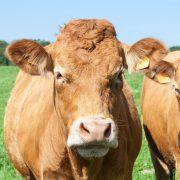 Production bovine